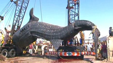Catch of the Day: Massive whale shark caught | DiverSync | Scoop.it