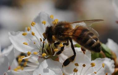 Actualité > Quand les bourdons espionnent les abeilles | Apprendre ++ | Scoop.it