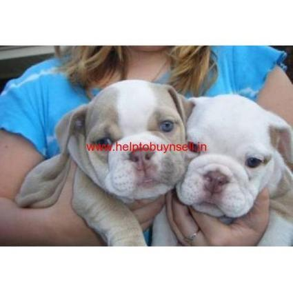 male and female english bulldog puppies for adoption,Dallas   Helptobuynsell.in   Post Free ads   Scoop.it