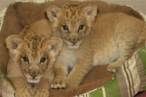 Lion Cubs at St. Louis Zoo - CBS St. Louis | Saint Louis Who's Who & What's What | Scoop.it