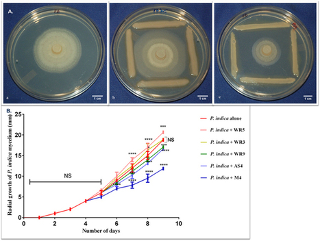 Interaction of Piriformospora indica with Azotobacter chroococcum | Discovery of Marine Natural Products | Scoop.it