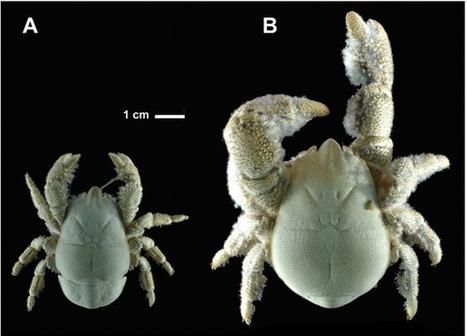 Une nouvelle espèce de crabe yéti - GuruMeditation | EntomoNews | Scoop.it
