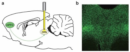 Optogenetics illuminates pathways of motivation and depression through brain | KurzweilAI | Longevity science | Scoop.it