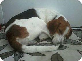 Glen St Mary, FL - Treeing Walker Coonhound Mix. Meet Dibley a Dog for Adoption.   Baker County, Florida   Scoop.it