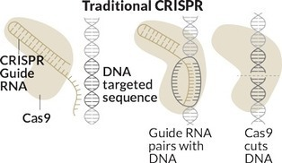 CRISPR inspires new tricks to edit genes | Amazing Science | Scoop.it