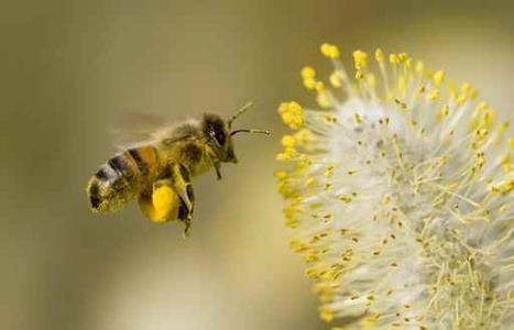 Mais où les abeilles trouvent-elles du pollen en fin d'hiver ... | Abeilles, intoxications et informations | Scoop.it