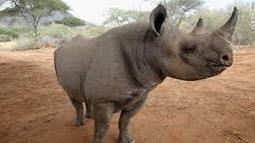 Kenya implanting microchips in rhinos to fight poaching | animals are in everywhere | Scoop.it