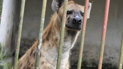 The hyena treatment for mental illness | Mental health and wellbeing | Scoop.it