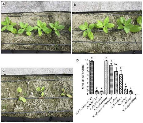 Frontiers in Plant Science: A gene for plant protection: expression of a bean polygalacturonase inhibitor in tobacco confers a strong resistance against Rhizoctonia solani and two oomycetes (2012) | Effectors and Plant Immunity | Scoop.it