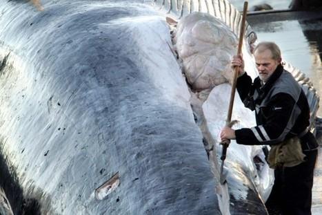 L'Islande suspend la pêche au rorqual commun   Zones humides - Ramsar - Océans   Scoop.it