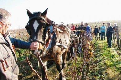 Un cheval à la place du tracteur dans les vignes - SudOuest.fr | Voyages et Gastronomie depuis la Bretagne vers d'autres terroirs | Scoop.it