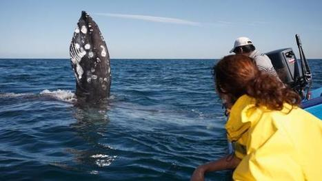 Instead of harpoons whales must now contend with tourists | Baja California | Scoop.it