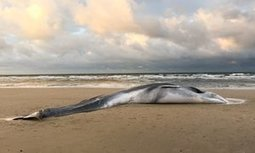 Rare fin whale stranding in Norfolk puzzles scientists | Oceans and Wildlife | Scoop.it