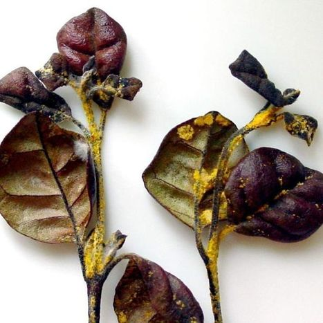 Myrtle rust 'has potential to cause regional extinction of iconic animals' | Australian Plants on the Web | Scoop.it