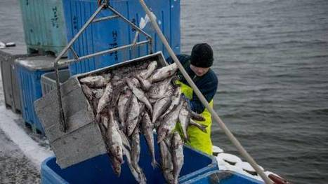 Haddock boom could sustain industry for six to seven years - The Globe and Mail | Alternative Energy Resourses Green,Energy Deregulation,Enviromental and Coinservation Issues Dealing With extration and transportation of Energy Resources,Saving Money on your gas and electric bills both in the residential and small business market place, | Scoop.it