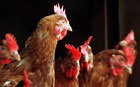 Chickens are capable of feeling empathy, scientists believe - Telegraph | Amusing, Shocking & Thought-Provoking News | Scoop.it
