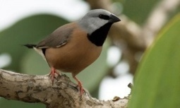 Carmichael mine may push rare bird to extinction, scientists warn Greg Hunt | Sustain Our Earth | Scoop.it