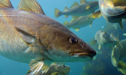 New England's Cod in Crisis | Earth Changes | Scoop.it