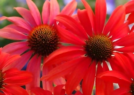 Glossary: Echinacea - InsidersHealth.com | Health Glossary | Scoop.it