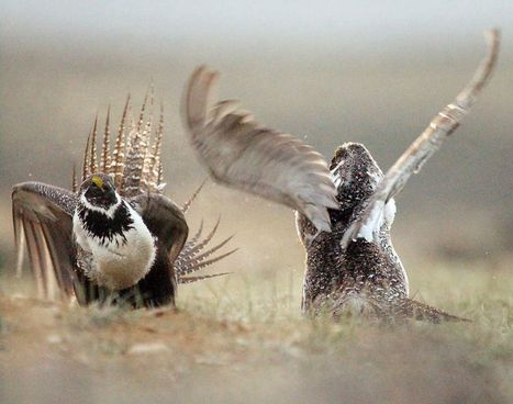 Feds to announce sage-grouse deal with Oregon ranchers   Advocating for Wildlife   Scoop.it