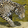 How humans help jaguars