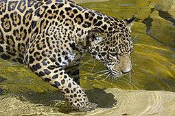 Jaguar – Saving Wildlife - Wildlife Conservation Society | How humans help jaguars | Scoop.it