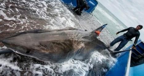 El viaje de un tiburon blanco de 30000 kilómetros   En el Dédalo   Scoop.it