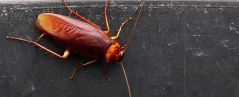 Scientists think cockroach milk could be the superfood of the future | Knowmads, Infocology of the future | Scoop.it