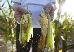 Burning our food: The drought and the vice of ethanol - Hot Air | www roundup | Scoop.it