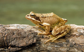 צפרדעים ודו חיים | צפרדעים | Scoop.it