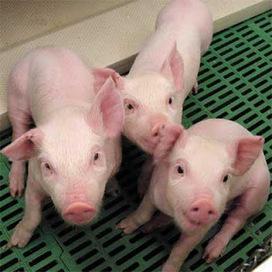 se secuencia el genoma del cerdo - biología y geología,ciencias ... | Historia y Filosofia del Codigo Genetico-De la Genetica Mendeliana al Genoma | Scoop.it