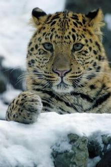 Wildlife Extra News - New Russian conservation plan for Amur tiger and leopard | Environmental Conservation & Sustainability | Scoop.it
