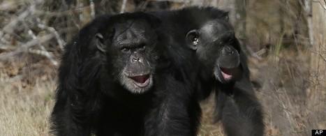 Retirement Villas for Laboratory Chimps   enjoy yourself   Scoop.it