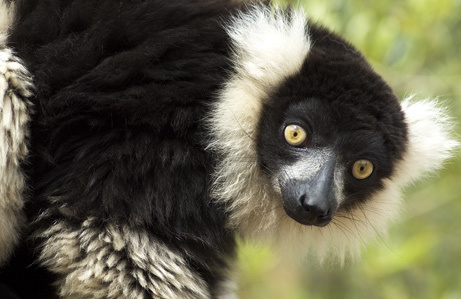 PHOTOS: Primates Newly Listed as Critically Endangered | Animales | Scoop.it