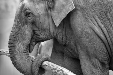 Abused Elephants Forced to Perform in Canada Need Your Help! | GarryRogers Biosphere News | Scoop.it