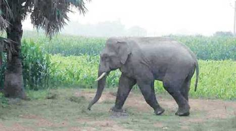 Assam team to visit Bangladesh for bringing back elephant | Pachyderm Magazine | Scoop.it