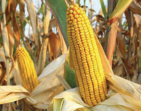 Tanzania outlines measures to curb deadly maize disease | MAIZE | Scoop.it