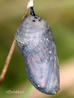 Life Cycle of Butterflies and Moths | Children's Butterfly Website | The Life Cycle of a Butterfly | Scoop.it