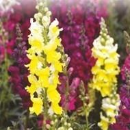 Winter Flower Seeds, Flowers seeds online in India, Buy flower seeds online, Flower seeds online | Buy flower seeds online, Flower seeds online, Garden seeds, Flower seeds, Herb seeds | Scoop.it