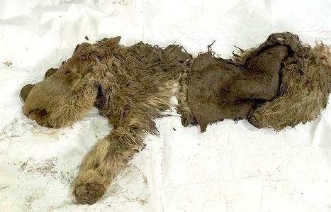 Un rhinocéros laineux découvert en Sibérie | Biodiversité & Relations Homme - Nature - Environnement : Un Scoop.it du Muséum de Toulouse | Scoop.it