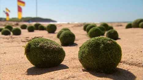 Mysterious Green Balls Wash Up on Australian Beach - NBC News   INTRODUCTION TO THE SOCIAL SCIENCES DIGITAL TEXTBOOK(PSYCHOLOGY-ECONOMICS-SOCIOLOGY):MIKE BUSARELLO   Scoop.it
