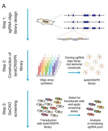 Genome-Scale CRISPR-Cas9 Knockout Screening in Human Cells   Biomedical synthetic biology   Scoop.it