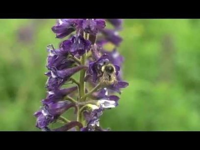 Wild Bees and Climate Change | Sustain Our Earth | Scoop.it