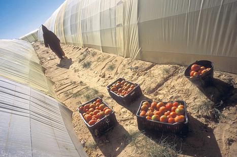Le Sahara algérien, eldorado de la tomate - Le Monde Diplomatique | Agriculture et Alimentation méditerranéenne durable | Scoop.it