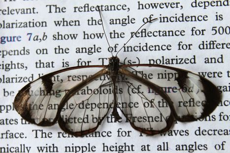 Low-reflection Wings Make Butterflies Nearly Invisible | Biomimicry | Scoop.it