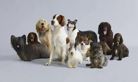 Dog days: Britain's endangered breeds - The Guardian   The-Dog-Digest   Scoop.it