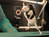 Robotic Rehab Helps Paralyzed Rats Walk Again - Science  AAAS | The Robot Times | Scoop.it