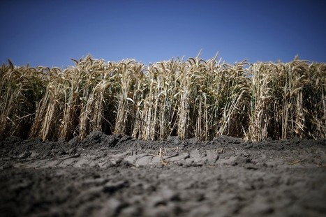 Troubling new research says global warming will cut wheat yields | Amazing Science | Scoop.it