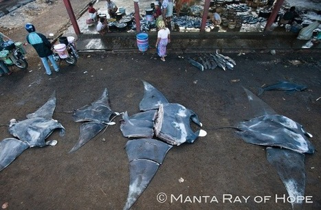 La médecine chinoise tue : Manta Rays Endangered by Sudden Demand from Chinese Medicine | Rays' world - Le monde des raies | Scoop.it