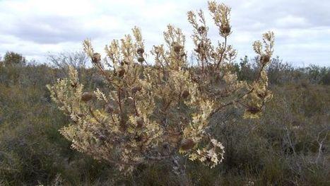 World first in getting rid of dieback disease | Australian Plants on the Web | Scoop.it